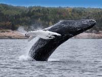Ballenas en Canada